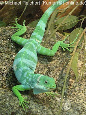 iguana de bandas de Fiyi Brachylophus fasciatus