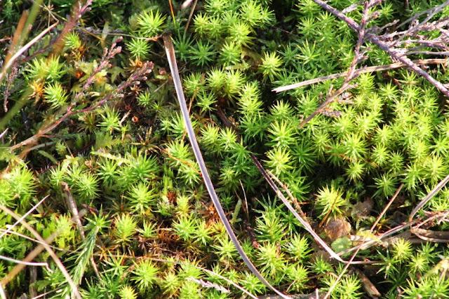 Sphagnum moss Scohaboy Peatlands