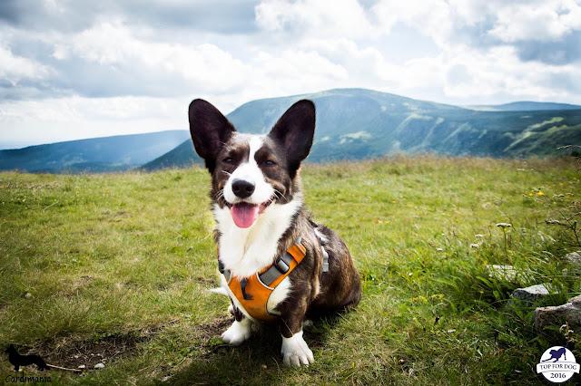 dolina noteci, izery, karkonosze, góry, sudety, góry z psem, podróże z psem, w podróż z psem, wakacje z psem, urlop z psem, podróżowanie z psem, wędrowanie z psem, welsh corgi cardigan, corgi, welsh corgi, yuma, biba, twiggy, cardimania, z psem w podróż, z psem na wakacje