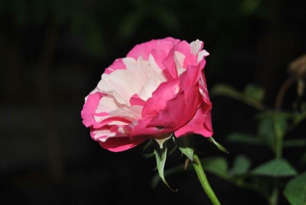 Setangkai Bunga Mawar
