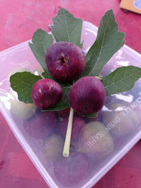 bibit pohon buah tin fc fresh cangkok jenis buah merah besar jumbo akar banyak Palopo