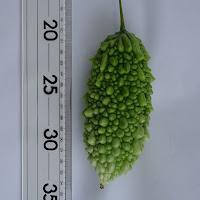 初収穫した緑色のアバシゴーヤ