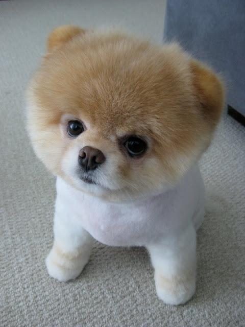 Teacup Pomeranian Poodle