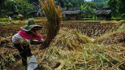 Presiden Jokowi Minta Sri Mulyani Siapkan Anggaran Serap Beras Petani