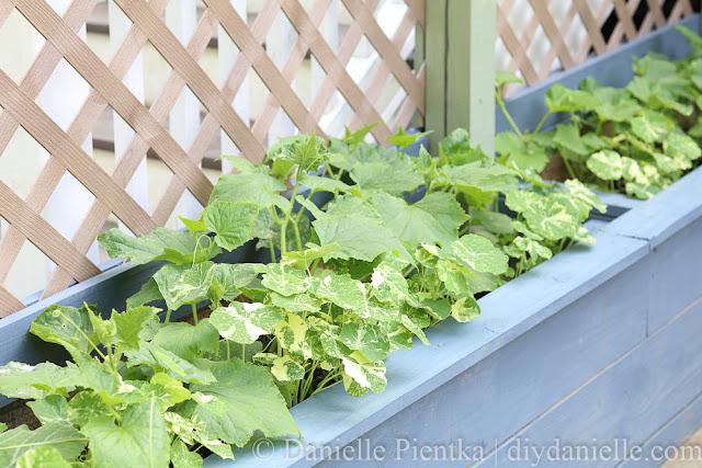 Cucumber plants and nasturium.