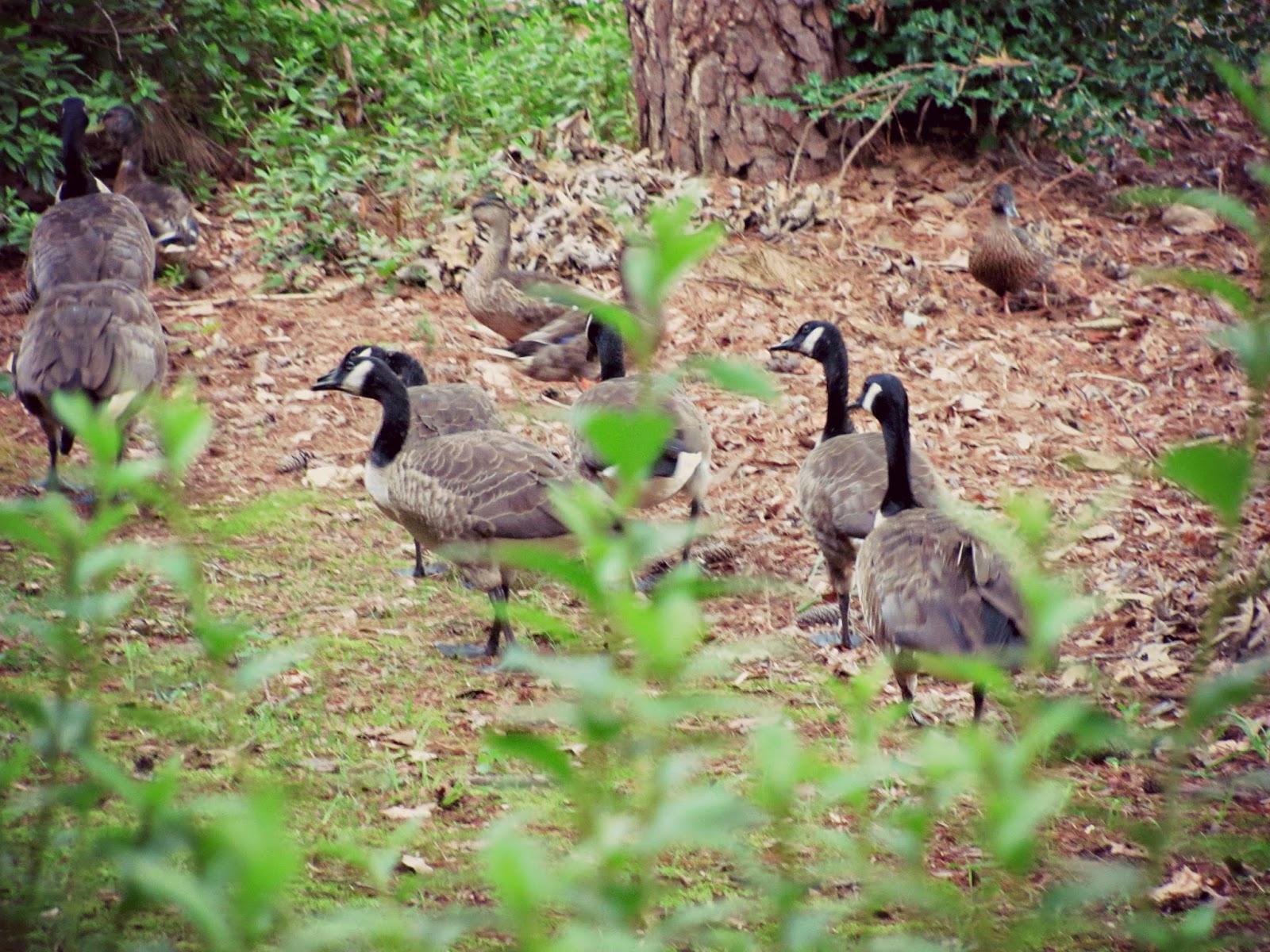 canadian-geese-walking