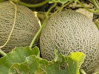 Tips Cara Membuat Buah Melon Agar Memiliki Rasa Manis