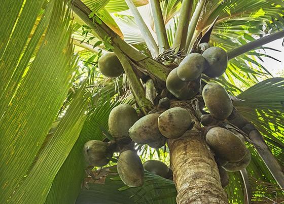 Qual é a maior semente do mundo?  Um%2Bcoqueiro-do-mar%2Bmaduro