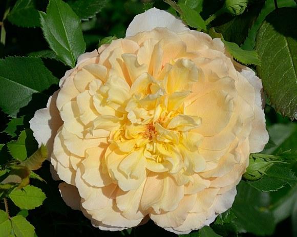 Sonnenwelt сорт розы фото Кордес