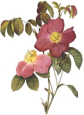 Rosa Gallica Rosea Flore Simplici by Pierre Joseph Redoute