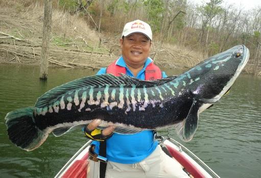 Channa Micropletes - 50 Jenis Ikan Channa Beserta Harga Terbarunya