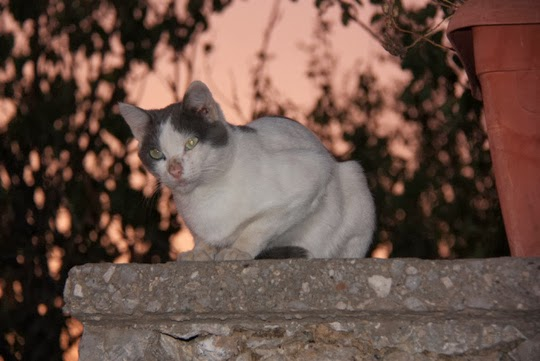 Cat of Athens Greece