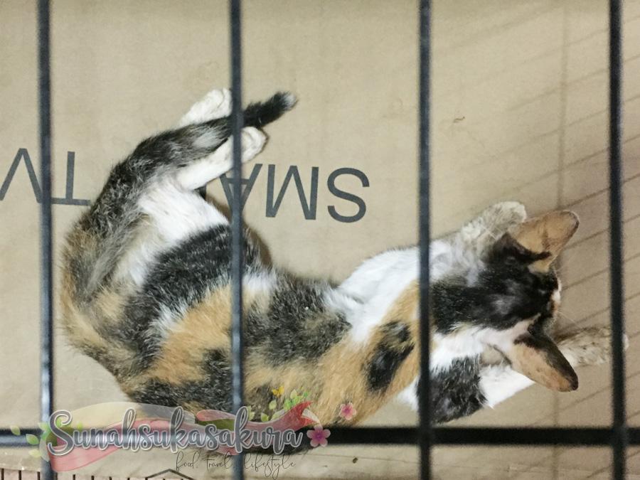 Apa Perlu Buat Jika Kucing Diserang Sawan? Apa Perlu Buat Jika Kucing Diserang Sawan?  Bo