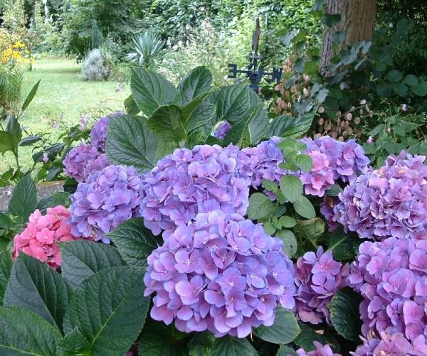 Mi remanso de paz c mo cuidar las hortensias - Como cuidar las hortensias en maceta ...