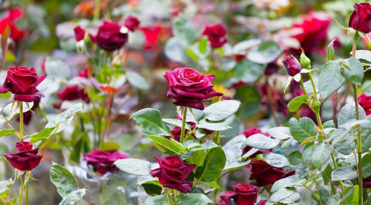 The cultivation method of indigenous roses