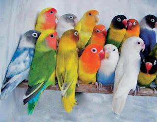 Mengenal Lovebird GS dan BS
