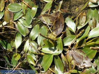 Potamot - Potamogeton
