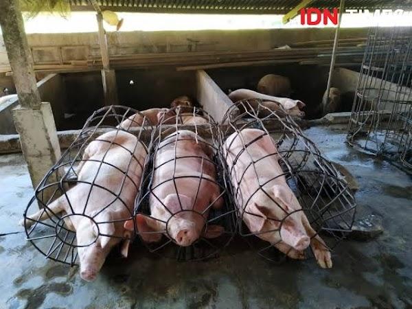 Virus Demam Babi, Masyarakat Bali Diimbau Kurangi Konsumsi Daging Babi