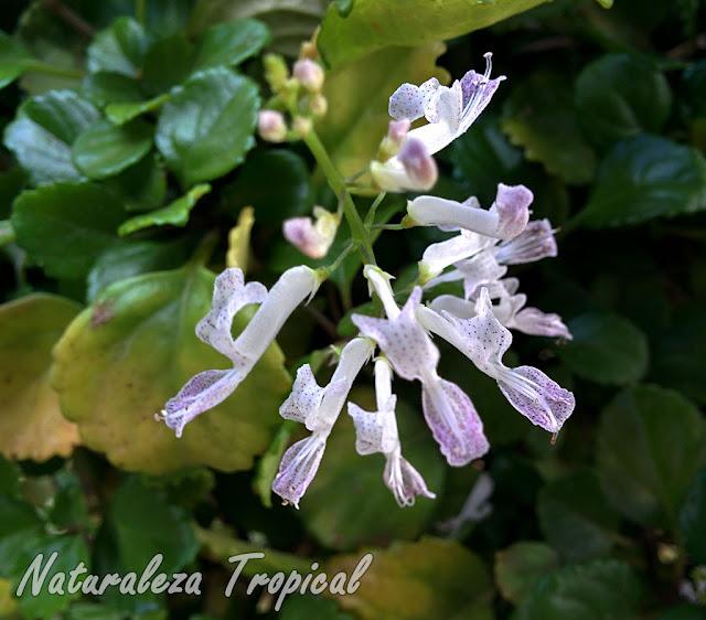 Flores de la Planta del Dinero, Plectranthus verticillatus