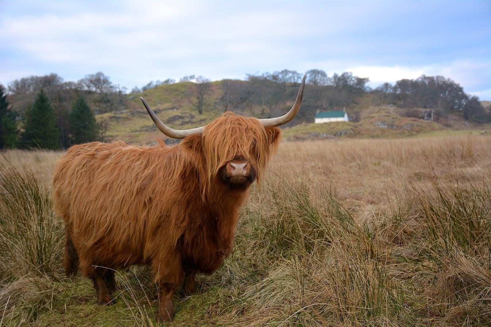 Highland hairy cow in Kilmartin Glen, Scotland