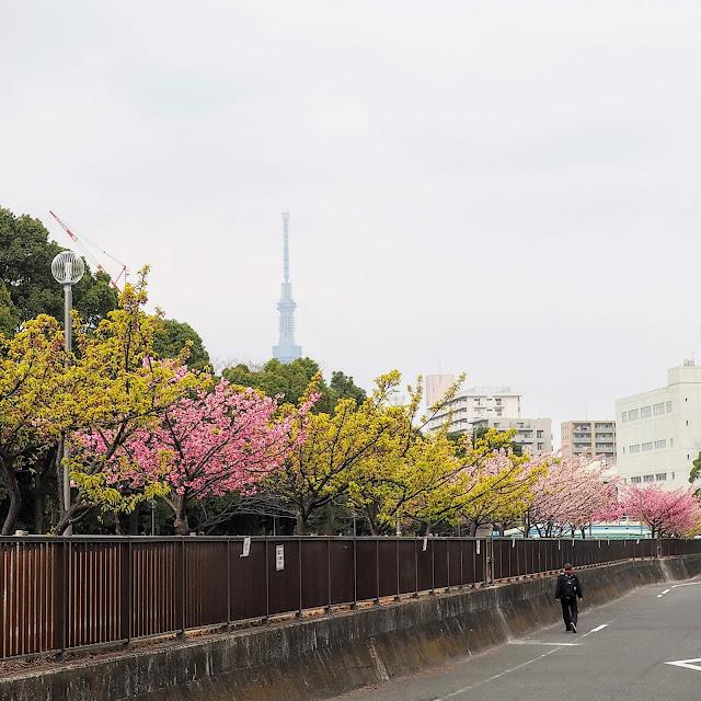 木場公園 大横川 河津桜 寒緋桜 スカイツリー