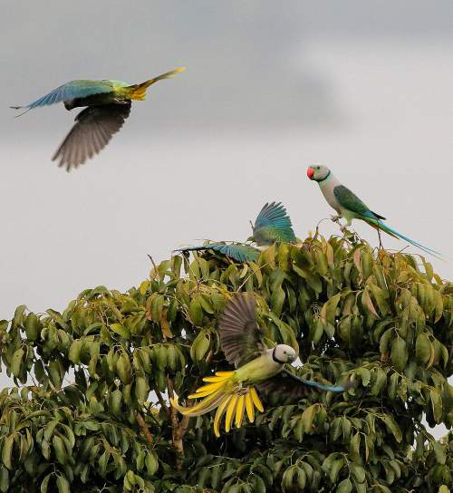 Indian birds - Image of Blue-winged parakeet - Psittacula columboides