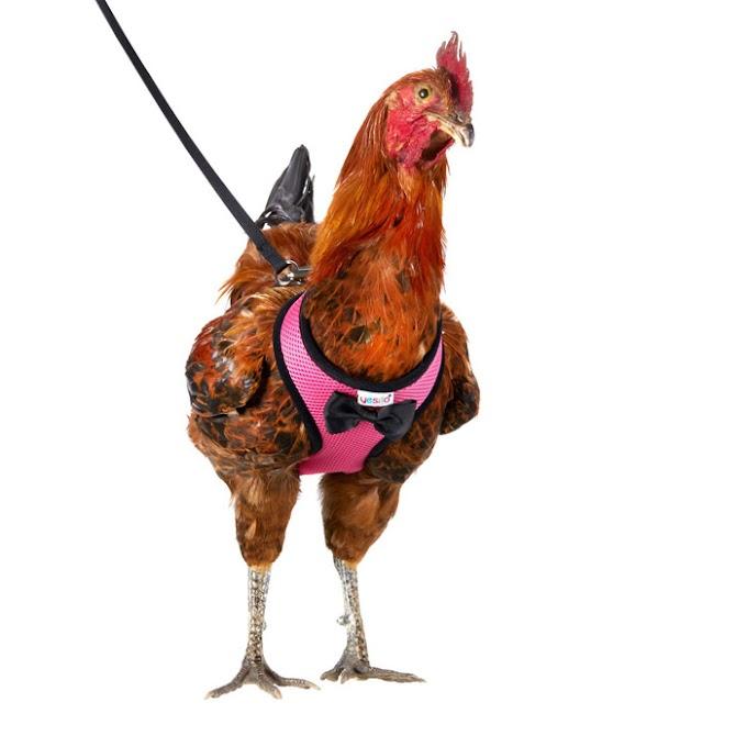 Ya puedes pasear con tu gallo por la calle gracias al arnés Yesito Chicken Harness