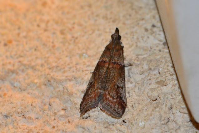 Acrobasis obliqua