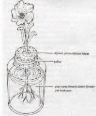 Gambar Menanam tumbuhan dalam air dengan menggunakan gabus dan kapas sebagai penyangga