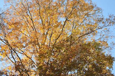 fall leaves; raking leaves, trees of fall