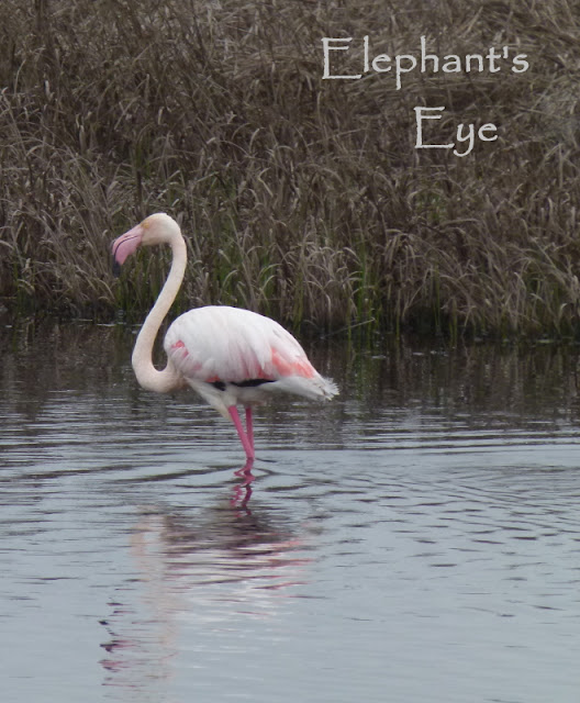 Greater Flamingo at Rocher Pan