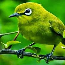Cara Mencegah Burung Pleci Yang Sering Melakukan Salto
