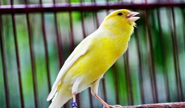 perbedaan burung cendet