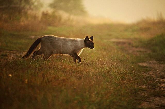 gatto siamese thai