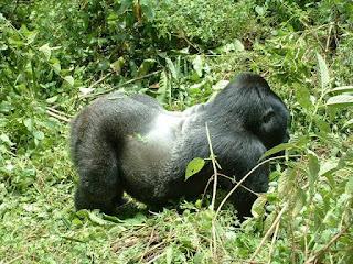 4 Days Affordable Gorilla Safari to Rwanda,Cheap Rwanda Safaris ,Discounted Gorilla Trekking Safaris,Rwanda Safaris,Cheap Uganda Safaris,Budget Rwanda Gorilla Safaris,Gorilla Trekking Tours,Rwanda Safari holidays,Cheap Uganda Safaris
