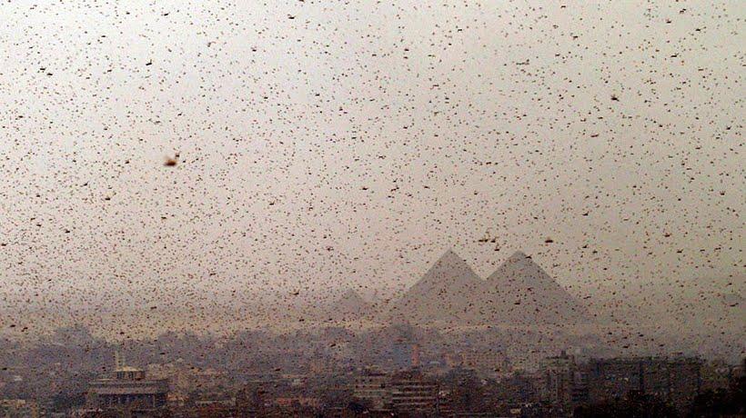 Egitto si prepara ad un attacco di Cavallette: La piaga delle Locuste come nella Bibbia.