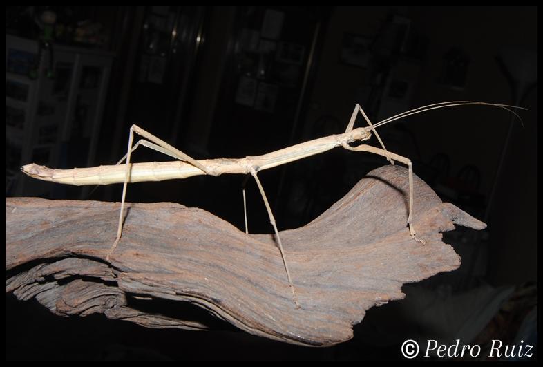 Hembra adulta de Phaenopharos khaoyaiensis, 13,5 cm de longitud