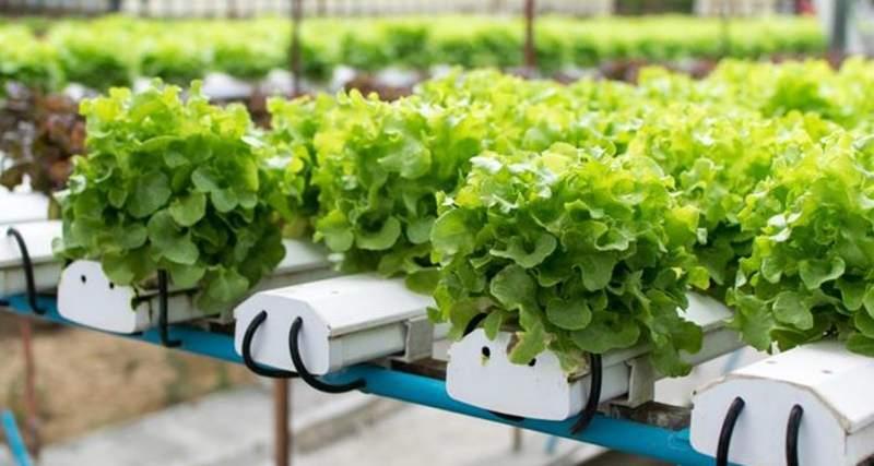 Berbagai Tanaman Sayuran Hidroponik