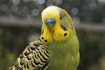 8 Top Yellow Parrots to Keep as Pets Budgies