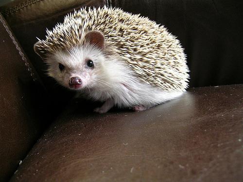 Golf Charlie Papa Cute Hedgehogs