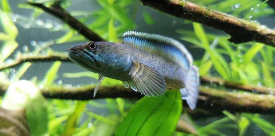 Channa Pomanensis - 50 Jenis Ikan Channa Beserta Harga Terbaru