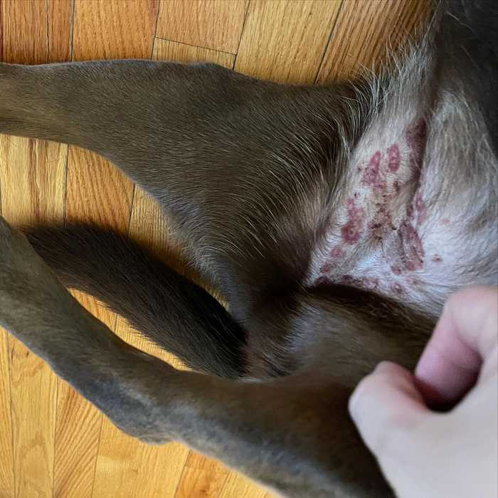 Thrombocytopenia in Dogs