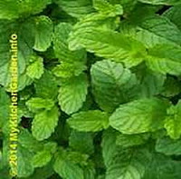 Top 15 Most Powerful Medicinal Plants- Mint, peppermint is a miracle herb.