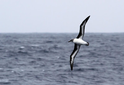Gray headed Albatross