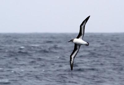 Gray headed Albatross