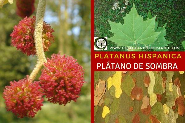 Platanus hispanica es entre un híbrido entre el Platanus orientalis y Platanus occidentalis