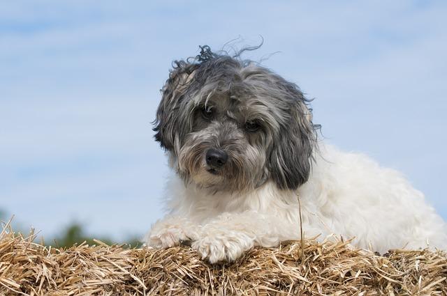 Ras anjing paling mahal di dunia