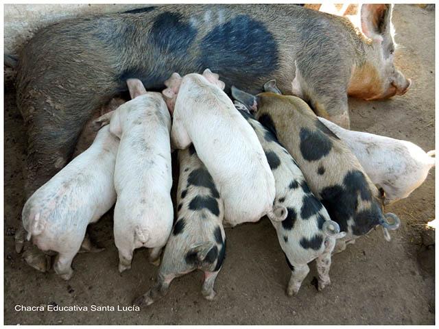 Mamífero y sus crías- Chacra Educativa Santa Lucía