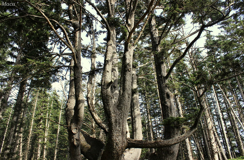 largest tree in oregon