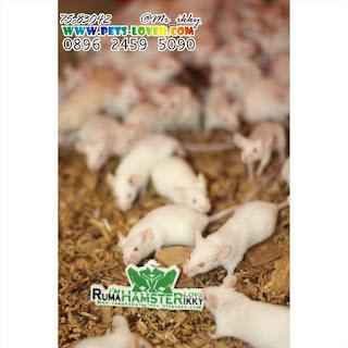 jual tikus putih, jual tikus putih jakarta barat, jual tikus putih surabaya, jual tikus putih jogja, jual tikus putih jakarta, jual tikus putih tangerang, jual tikus putih jakarta timur, jual tikus putih bintaro, jual tikus putih jakarta selatan, jual tikus mainan, jual anak tikus, jual anti tikus, jual anak tikus putih, jual alap tikus, jual alarm tikus, jual racun tikus ampuh, jual keladi tikus asli, jual pengusir tikus ampuh, jual lem tikus ampuh, jual perangkap tikus ampuh, jual tikus bandung, jual tikus beku, jual tikus belanda, jual tikus bekasi, jual tikus bogor, jual boneka tikus, jual beli tikus putih jakarta, jual beli tikus putih tangerang, jual perangkap tikus bandung, jual racun tikus bubuk, jual tikus cimahi, jual tikus ciledug, jual tikus chinchilla, jual tikus curut, jual cap tikus, jual cap tikus di jakarta, jual cap tikus jakarta, jual tikus putih ciledug, jual tikus putih ciputat, jual tikus putih cirebon, jual tikus di bandung, jual tikus di tangerang, jual tikus di jogja,